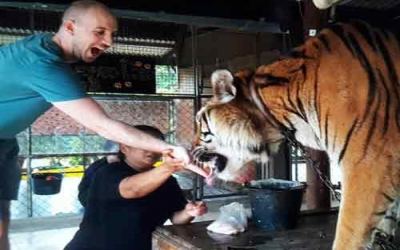 Hand feed tiger